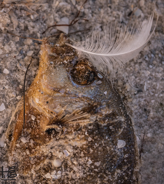 Feather with dead fish