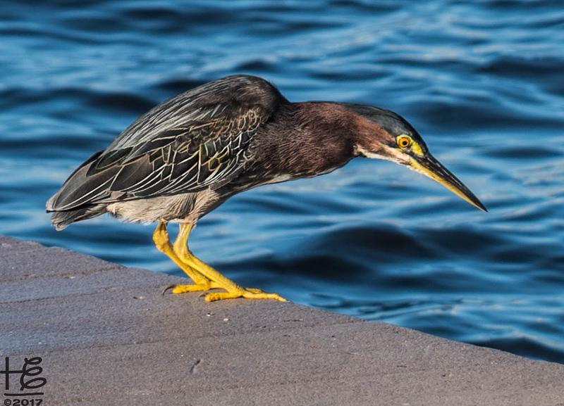 Green heron on dock