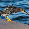Green heron on dock