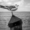 B&W sea gull on piling