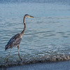 Great blue heron walking