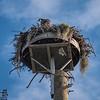 Osprey in nest platform