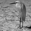 Snowy Egret on beach