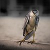 Night heron on fishing pier