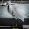 Egret on fish cleaning station