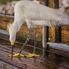Snowy egret cleaning up fish remains