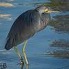 Green Heron on bay02-12-15