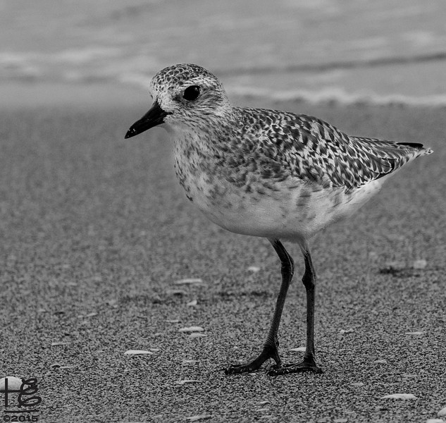 Sweet plover on beach
