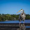 Blue Heron on dock fence