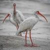 An ibis trio