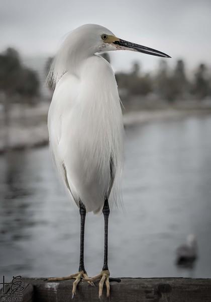 Snowy Egret waiting