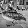 Pelican convention
