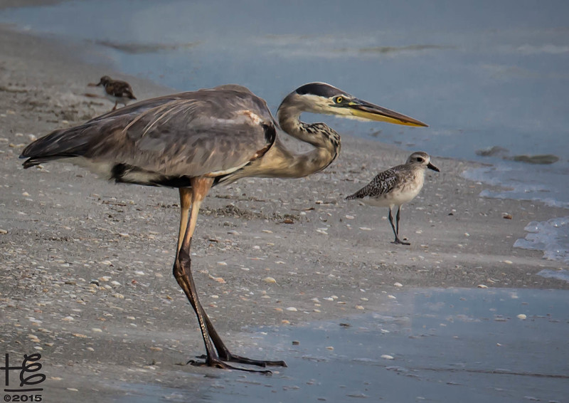 Blue Heron & Grey Plover