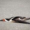 Bird laying on sand