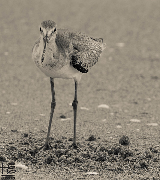 Willet with direct look