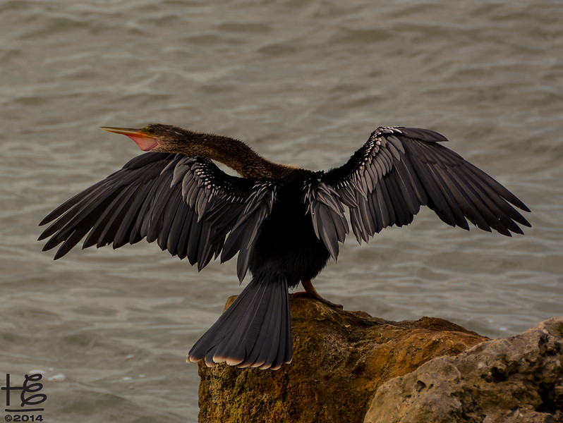 bird drying feathers on rock