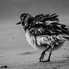 ruffled shore bird