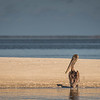 Pelican on sandbar