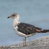 Intense shore bird