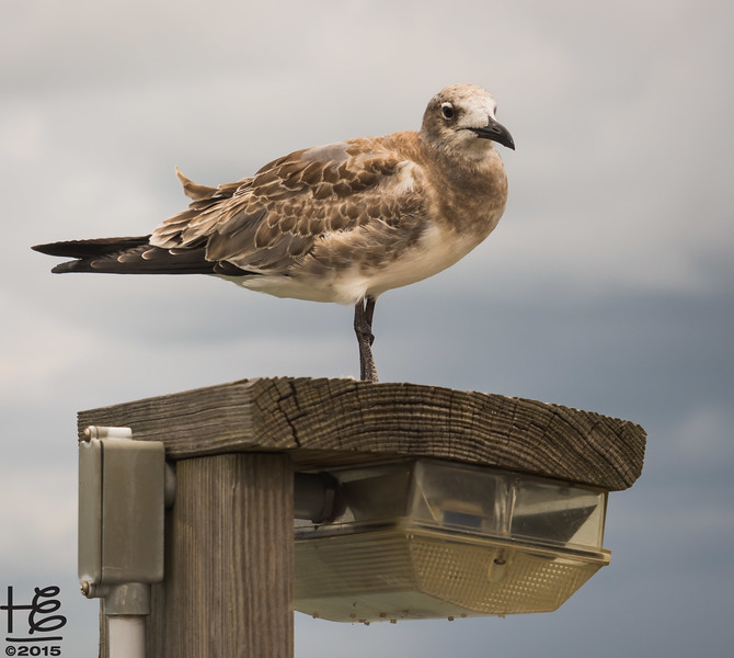 Shorebird on lamp post