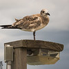 Shorebird on lamp post