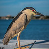 Night heron at bait bin