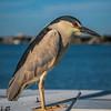 Night heron at bait bin