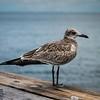 Seashore bird on pier