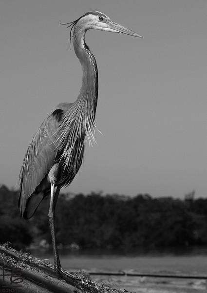 standing blue heron