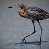 Reddish Egret walking