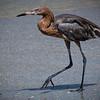 Reddish Egret walking