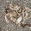 Hatched loggerhead turtle eggs