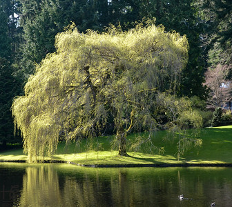 03-23-14 The afternoon light lit up this Weeping Willow across the pond at the Bloedel Reserve