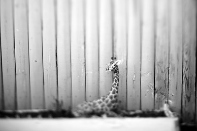 Giraffe---Wilkes-Barre, PA