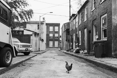 Baltimore -- One of Gready's chickens crosses the road on Feb. 23, 2019. Photo by Eric Lee