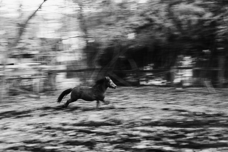 Baltimore -- Bey runs free in Bongo Square on a cold night. His gallop's rhythm is dampened by the mud on Nov. 28, 2018.