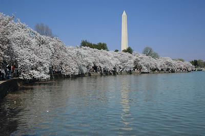 Chery Blossom in DC
