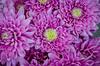 Copious Chrysanthemums