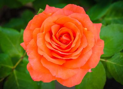 Springtime Rose
