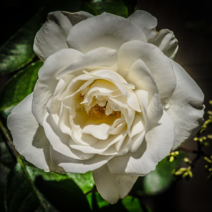 A Mother's Day Rose