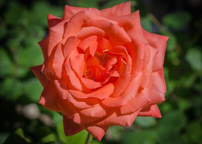 Feeling like a Rose