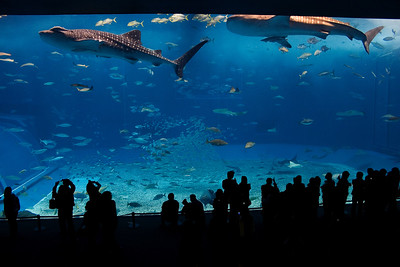 Flying Whale Sharks