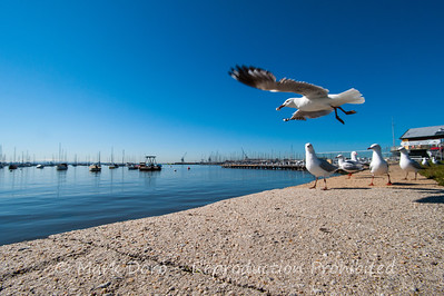 Seagulls feeding, Williamstown foreshore, Victoria