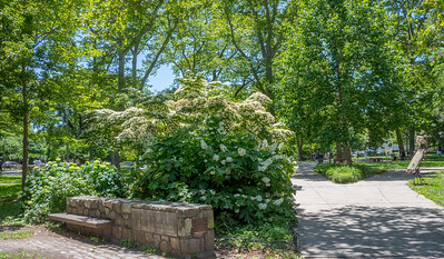 Dogwoods in the Park