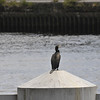 Cormorant On Tyne
