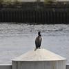 Cormorant On Tyne