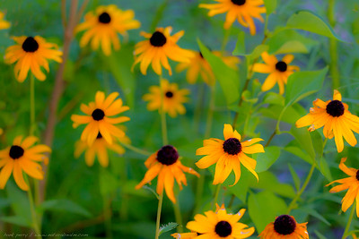 crazy daisies...in the front yard, fade into fall