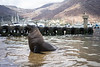 Cape Fur Bull seal, eyes closed in blissful content, wading along harbour slipway, kelp gulls and yacht marina in soft background,Hout Bay Cape Town