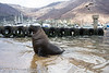 Cape Fur Bull seal wading along harbour slipway, kelp gulls landing and yacht marina in soft background,Hout Bay Cape Town