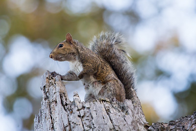 Grey Squirrel, Sciurus carolinensis, female. Holds paw in defiant fist.  Standing squirrel hidden dragon.